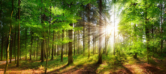 Beautiful rays of sunlight in a green forest