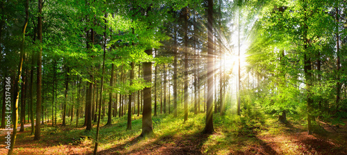 Obraz Beautiful rays of sunlight in a green forest - fototapety do salonu