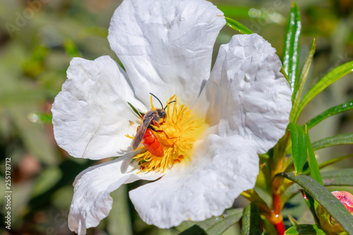 Foto  European bee, Apis mellifera, over White rockrose flower in Mediterranean spring, Cistus salviifolius, common names sage-leaved rock-rose, salvia cistus or Gallipoli rose
