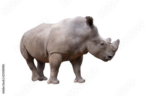 Spoed Foto op Canvas Neushoorn white rhino