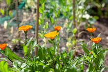 Calendula, Pot Marigold