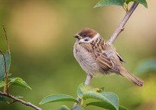 Tree Sparrow Bird On A Branch
