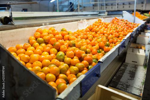 Fotografie, Obraz  Production facilities for mandarins on agricultural farm