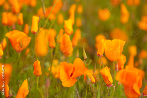 Photo  Golden poppies fields in Walker Canyon Lake Elsinore spring 2019