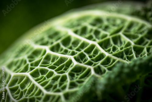Fotografija  Foglia di verza in luce dettaglio