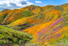 Colorful Superbloom Wildflowers