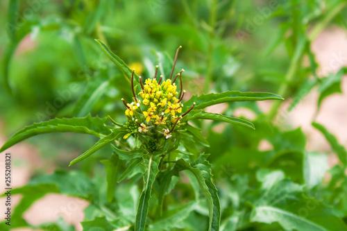 Yellow Garden Weed