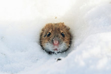 Striped Field Mouse Looking From Hole In Snow In Winter. Cute Little Common Rodent Animal In Wildlife.