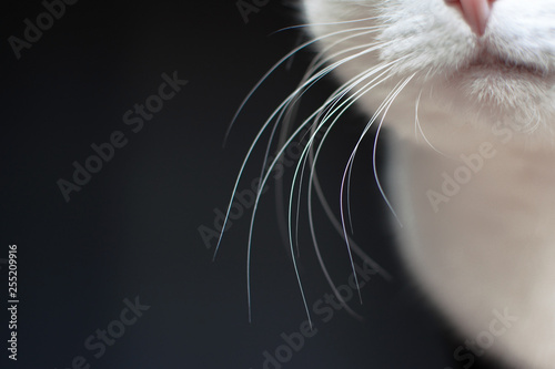 Photo Close up of white cat whiskers on dark background