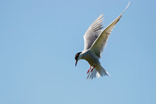 Common Tern Flying Under Blue Sky Looking For Fish. Cute Agile Fast Waterbird. Bird In Wildlife.