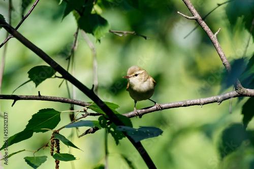 Fotografie, Obraz Greenish warbler sitting on branch of bush