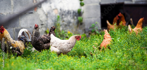 Poules chicken on a farm