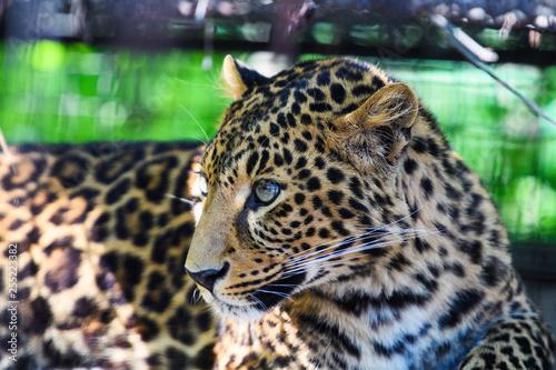 Poster Luipaard Portrait of a beautiful leopard