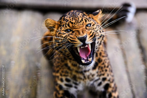 Foto  Portrait of a beautiful leopard