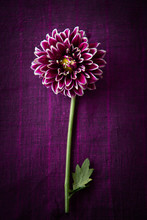 Pink-Purple Chrysanthemum