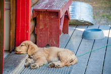 Golden Retriever Puppy Sleepin...