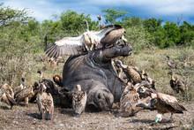 White Backed Vultures Feeding On Poached White Rhinoceros