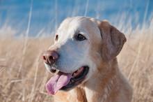 Close Up Of Labrador Retriever