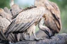 White Backed Vultures Feeding ...