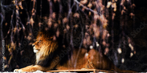 Photo  Beautiful Mighty Lion