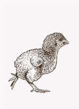 Graphical Vintage Chick, Vector Illustration