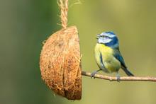 Blue Tit With Coconut Feeder, Facing Left, Singing, Beak Open