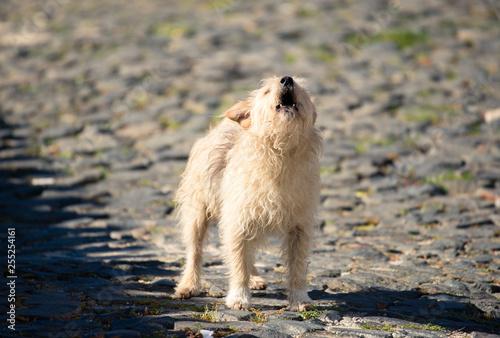 Papel de parede  Cão a uivar