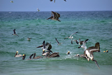Group Of Pelicans And Seagulls Feeding Off The Coast Of Florida