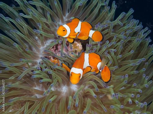 Fotografie, Obraz  Anemone Clown Fish Couple with Eggs
