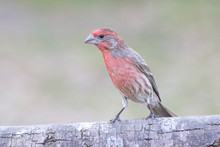 House Finch Perched On A Trunk Backyard Home Feeder Outside