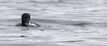 A Common Loon Has Fish For Dinner In A Bay Of The Pacific Ocean Near Crescent City, California,