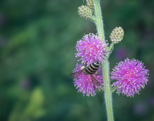 Bee And Mimosaceae