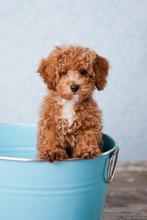 Fluffy Redhead Bichon Poodle B...