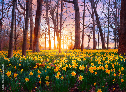 Daffodils in forest Canvas Print