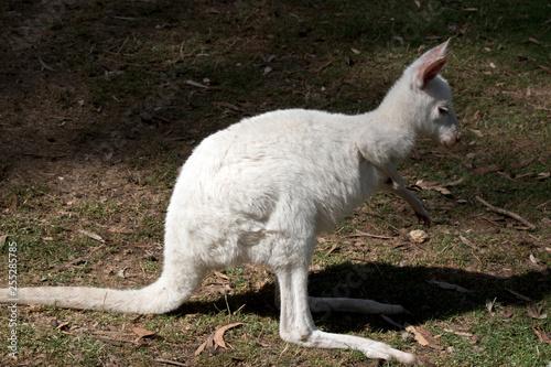 Fotografie, Obraz  an albino joey kangaroo