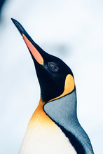 King Penguin Looking Up