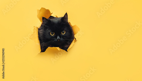 Fotobehang Kat Funny black cat looks through ripped hole in yellow paper. Peekaboo. Naughty pets and mischievous domestic animals. Copy space.