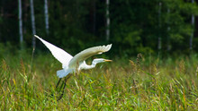 Great White Heron Or Great Egret, Ardea Alba, Take Off Close-up Portrait With Bokeh Background, Selective Focus