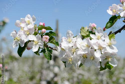 Obrazy kwiat jabłoni   kwiat-jabloni-w-sadzie