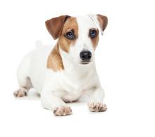 Dog At White Background