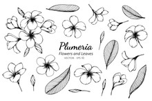Collection Set Of Plumeria Flower And Leaves Drawing Illustration.