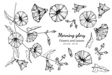 Collection Set Of Morning Glor...