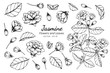 Collection set of jasmine flower and leaves drawing illustration.