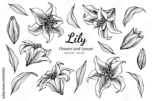 Fotografia Collection set of lily flower and leaves drawing illustration.