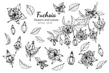 Collection Set Of Fuchsia Flower And Leaves Drawing Illustration.
