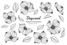 Collection Set Of Dogwood Flower And Leaves Drawing Illustration.