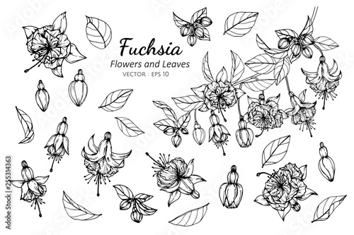 Fototapeta Collection set of fuchsia flower and leaves drawing illustration.