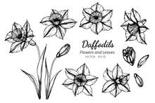 Collection Set Of Daffodils Flower And Leaves Drawing Illustration.