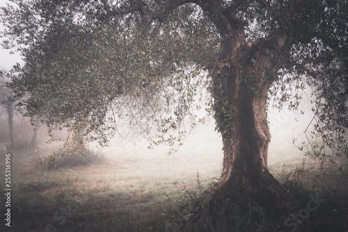 Poster Olijfboom countryside view with old olive tree in autumn foggy morning
