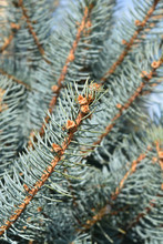 Fat Albert Colorado Blue Spruce